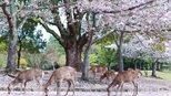 在日本,将春天的颜色收入眼底之奈良