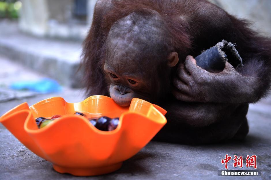 7月21日,重庆市杨家坪动物园的饲养员投喂冰镇水果给动物解暑。当日,重庆市气象台发布高温橙色预警信号,预计渝中、大渡口、江北、九龙坡、万州、梁平、垫江、开州、云阳等区县气温将达37以上。图为猩猩正在吃冰镇水果解暑。