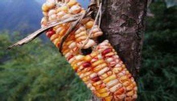 彩色玉米图片