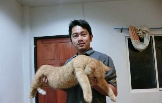 橘猫怎么吃都不胖,可主人一抱它起来,猫:完了,没