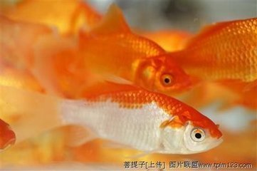 小金鱼吃什么
