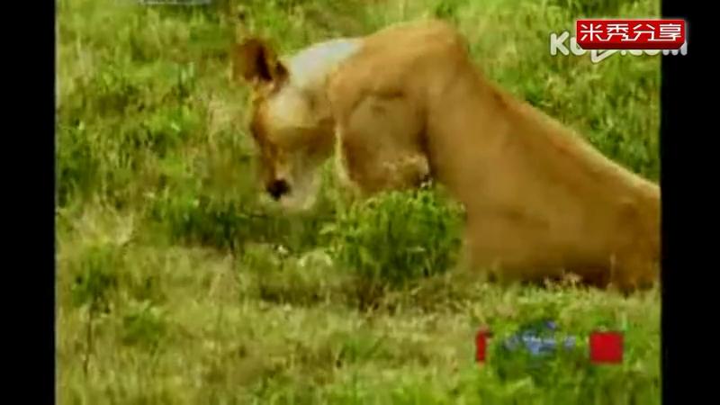 动物世界 狮子与老虎