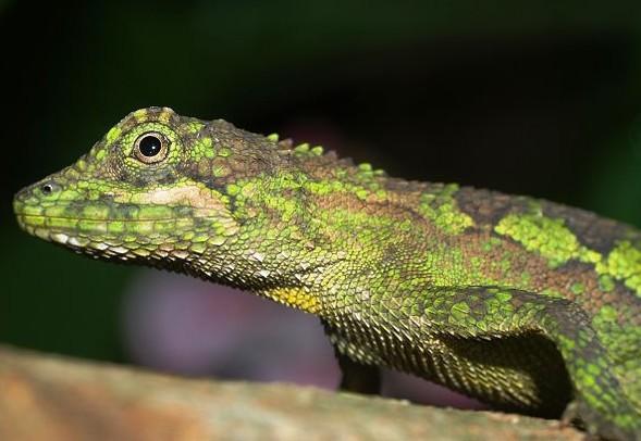 四川攀蜥是蜥蜴目鬣蜥科攀蜥属的一种爬行动物,主要分布在四川等地