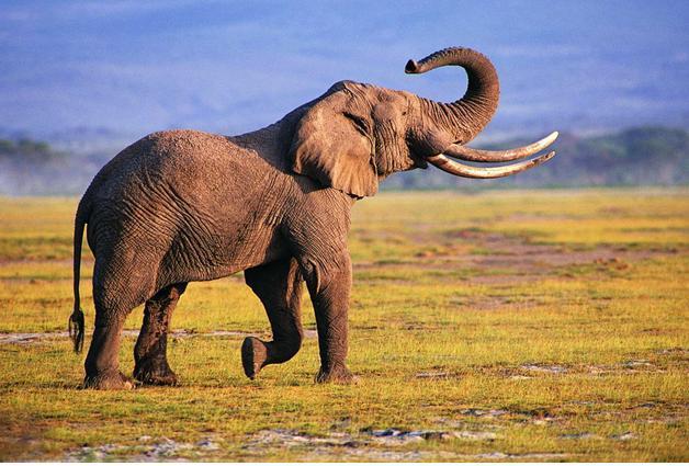 非洲象是陆地上身体最重的哺乳动物