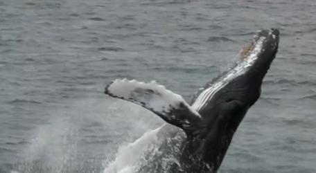 不好吃?男子被座头鲸一口吞下又吐出!