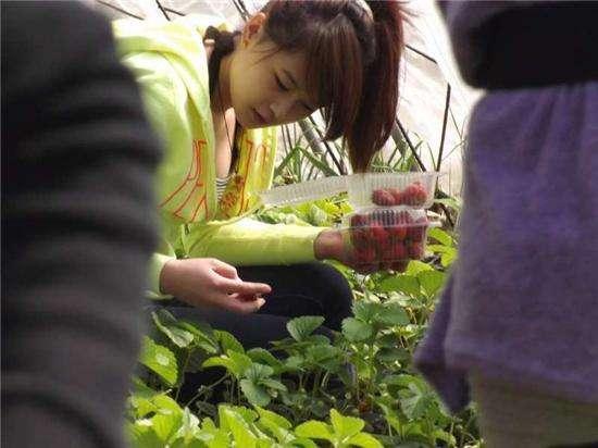 [转载]阳台这样种草莓,太高产,一盆种出5斤来! - 烟圈 - 烟圈的博客