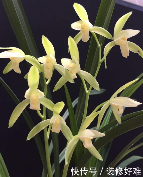 拥有非凡叶姿的兰花,花色素雅,花香浓郁,是典型花大色美典范