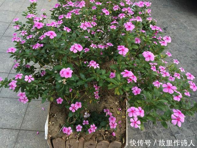 几种夏季花卉,特能开花,耐旱耐热性好,阳光越多花朵开得越好