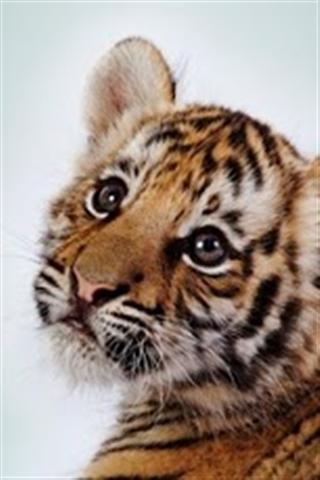 可爱老虎手机背景图片