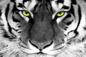 饿虎的眼睛