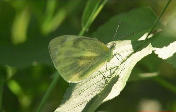 东方菜粉蝶