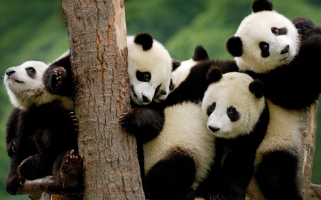大熊猫为什么数量稀少? 导致大熊猫数量稀少的原因是什么?
