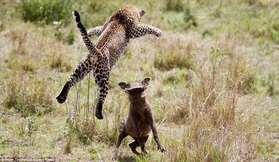 """豹子可以跳多高?怀孕母豹""""飞""""向疣猪 - 后老兵 - 雲南铁道兵战友HOU老兵博客;"""