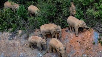 最新进展!野象群已进入云南玉溪红塔区 当地用无人机红外功能勘察