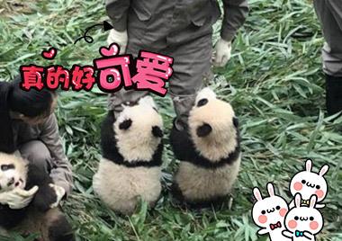 熊猫宝宝抱住奶爸大腿不撒手卖萌