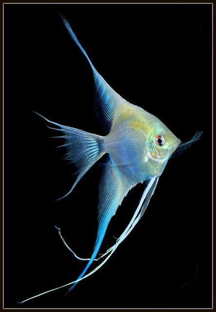 世界上最有仙气的观赏鱼听名字就想养神仙鱼就是这么傲娇 观赏鱼常见疾病 深圳龙鱼第1张