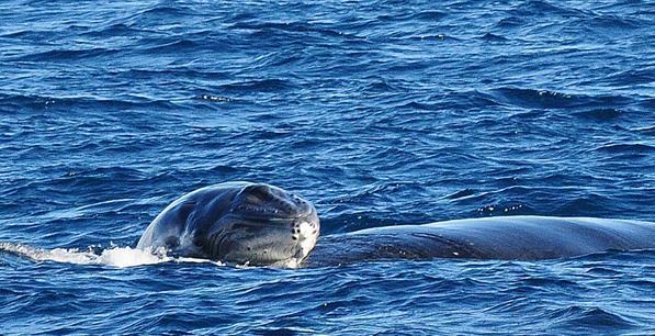 壁纸 动物 海洋动物 鲸鱼 桌面 597_306