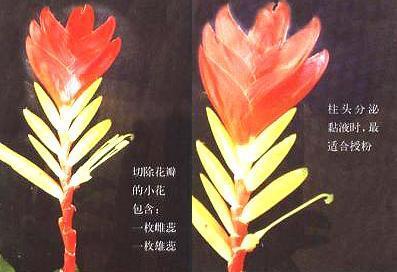 丽穗凤梨育种关键步骤