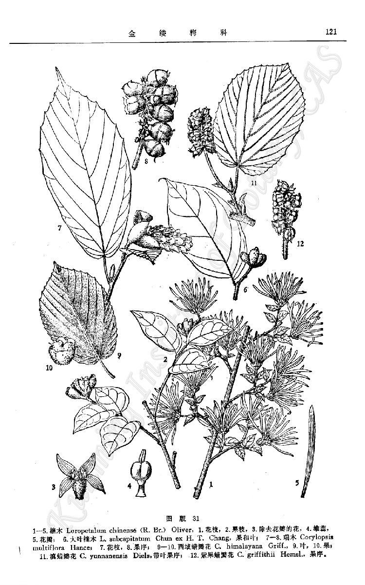 檵木手绘黑白图