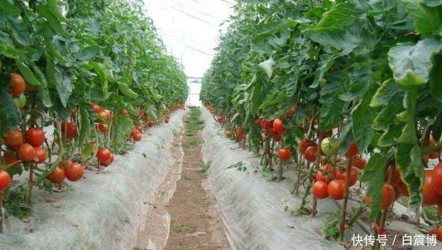 既是蔬菜又是水果,大名鼎鼎的西红柿,它的正确种植方法是什么