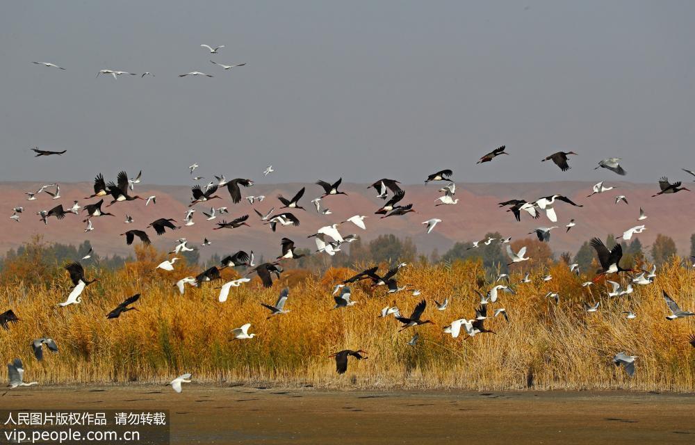 黑河湿地迁徙候鸟舞翩迁蔚为壮观