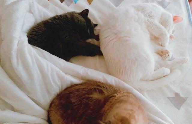 主人大床总被暹罗猫霸占,想用同款小床哄猫换窝,却遭爱猫拒绝