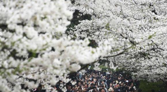 """武汉大学樱花引客来 一起来""""云赏樱"""""""