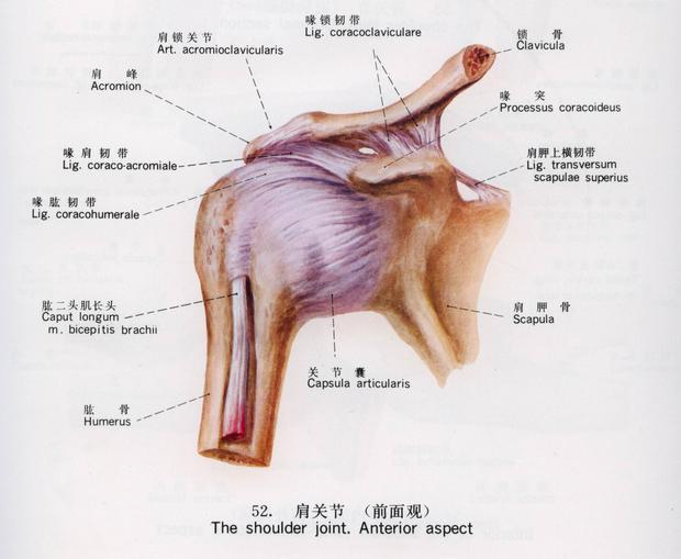 关节囊结构图解