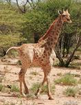 科学家发现侏儒长颈鹿:身高甚至不到3米