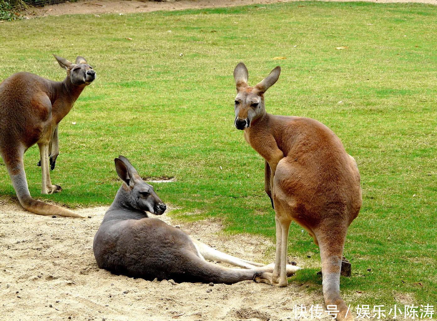<b>兔灾 狐灾还没解决,澳大利亚引进的世界最大最毒的蟾蜍又泛滥了</b>