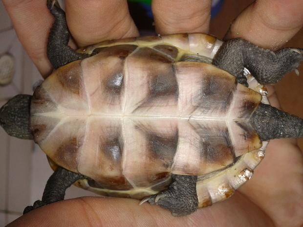 这两只草龟怎么分公母图片
