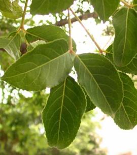 香樟树叶是什么形状