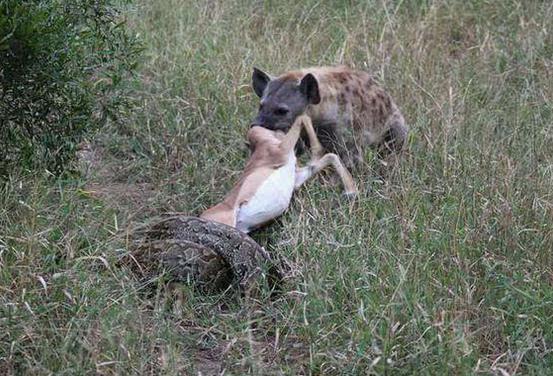 一只鬣狗像往常一样出去猎食,走到一块泥潭附近时突然兴奋了