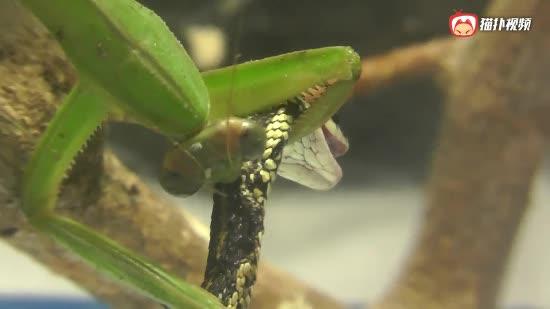 螳螂捕蛇全过程