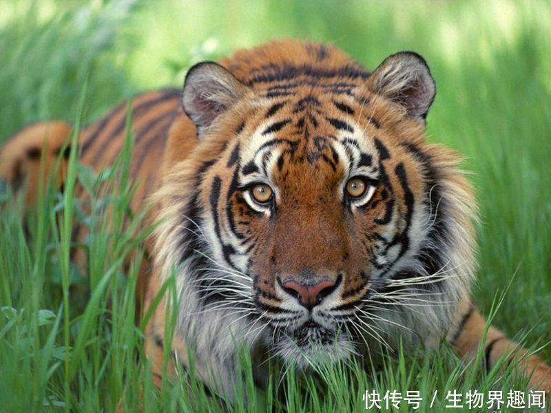 东北虎 PK 科迪亚科棕熊,到底谁才是真正的王者