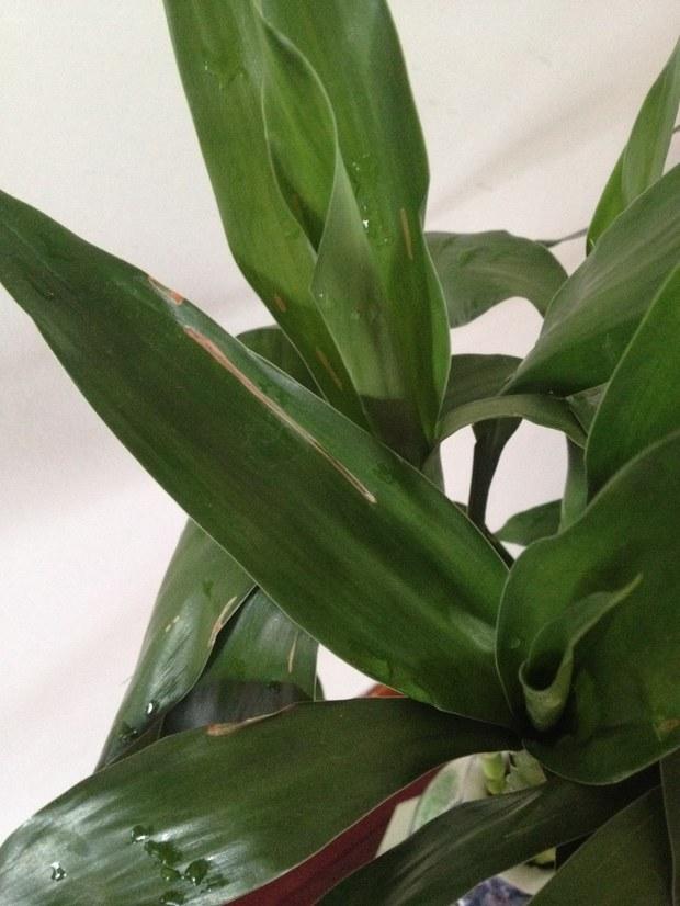 水养富贵竹叶子黄斑线是怎么啦?