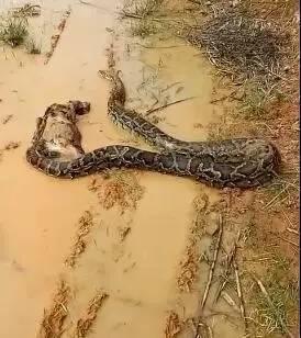 梧州5米大蟒蛇吞掉山羊 有关部门提醒