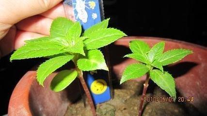 凤仙花根和芽是什么样子的