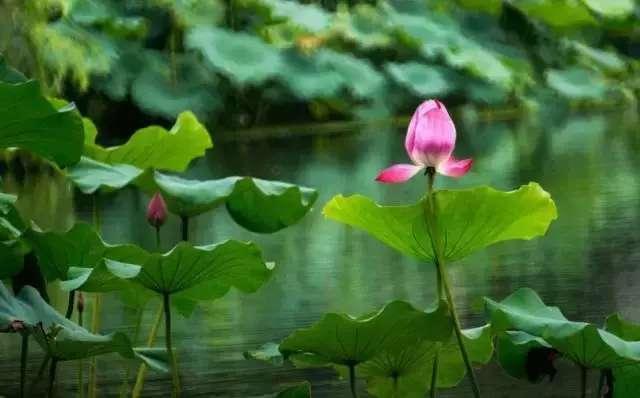 深圳人夏天的美好记忆 荷花,是洪湖公园给深圳人最有特色的礼物。这里的湖面约25万,利用二、三级湖广植荷花、睡莲和其它水生花卉,面积达100多亩,是华南地区种植荷花面积较大且品种较多的荷花景观种植基地。盛夏刚开始,洪湖公园就迎来了一年中最美的季节,虽然荷花还未全部盛开,但洪湖公园已然是一片鲜花的海洋了。