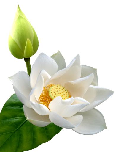 竖版莲花黑白手绘