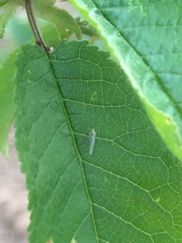 樱桃树的叶子长了虫子卷曲了 怎么办图片