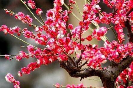 有紫梅,红梅,白梅,江梅,重叶梅,盆栽梅和高大的梅树等二百多种.
