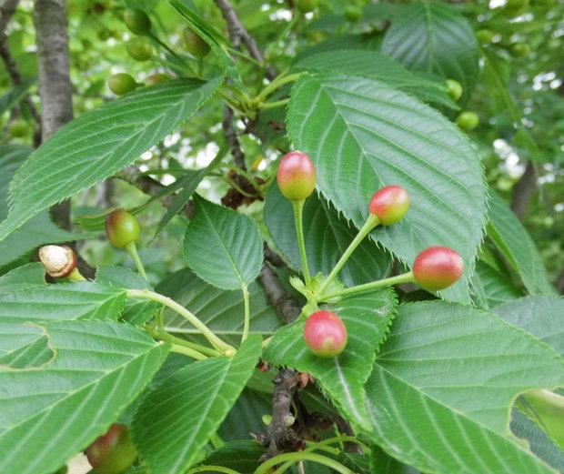 樱桃树叶子和核桃树叶子有什么不同_360问答图片