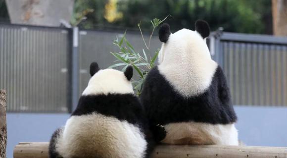 """旅日大熊猫""""香香""""户外玩耍 模仿妈妈坐姿超萌"""