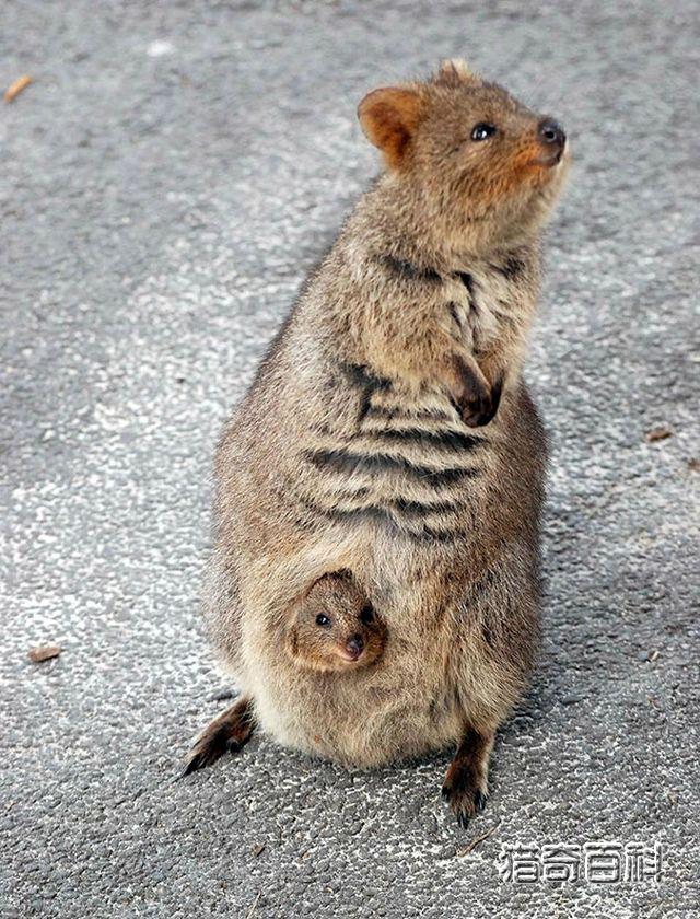 世界上最开心动物短尾矮袋鼠,它连睡觉都在笑