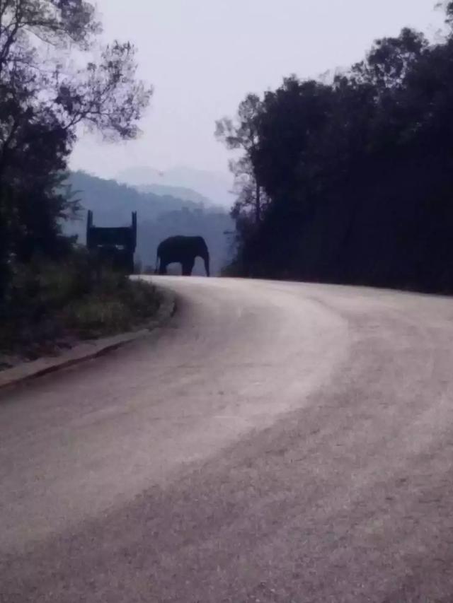 大象来过的地方-曼糯古树茶山头茶!