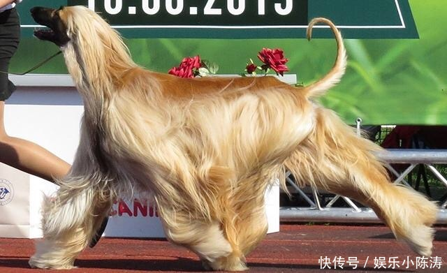 <b>全球十大最不听话的狗狗,二哈榜上无名 有后悔的没有</b>