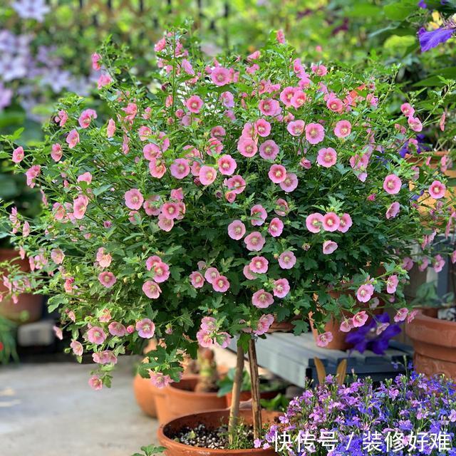 """比""""野草""""还好养的花卉,花朵清秀,全年开花,轻松就能开爆盆"""