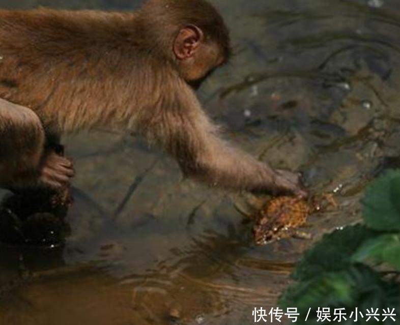 毛猴水里捡到消遣生物,各种耍,游客为蛤蟆心疼三秒