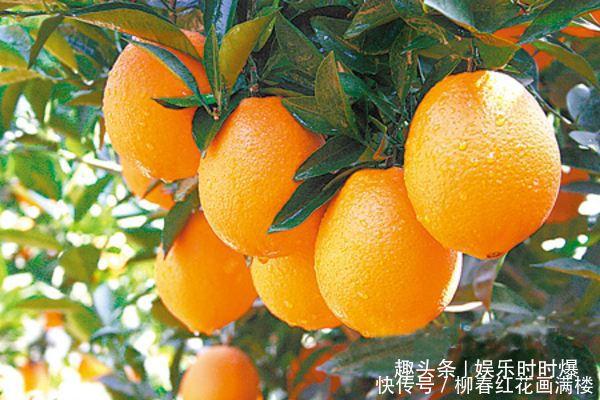 为什么要控制脐橙晚秋梢,脐橙晚秋梢有几种控制方法